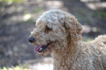 TED-poodle-Banksia Park Puppies - 7 of 19
