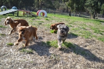ADULT AGILITY PARK- Banksia Park Puppies - 1 of 117