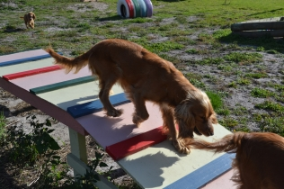 ADULT AGILITY PARK- Banksia Park Puppies - 10 of 117