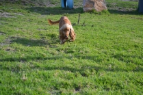 ADULT AGILITY PARK- Banksia Park Puppies - 105 of 117