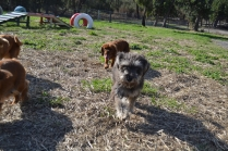 ADULT AGILITY PARK- Banksia Park Puppies - 2 of 117