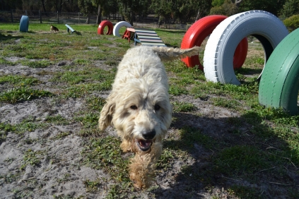 ADULT AGILITY PARK- Banksia Park Puppies - 49 of 117
