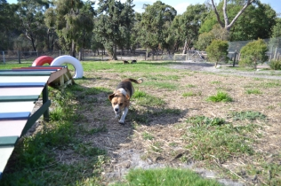 ADULT AGILITY PARK- Banksia Park Puppies - 56 of 117