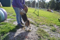 ADULT AGILITY PARK- Banksia Park Puppies - 57 of 117