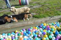 ADULT AGILITY PARK- Banksia Park Puppies - 65 of 117