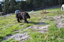 ADULT AGILITY PARK- Banksia Park Puppies - 69 of 117