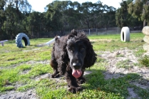 ADULT AGILITY PARK- Banksia Park Puppies - 71 of 117