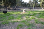 ADULT AGILITY PARK- Banksia Park Puppies - 72 of 117