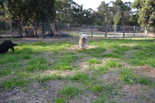 ADULT AGILITY PARK- Banksia Park Puppies - 73 of 117