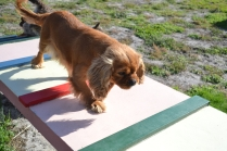 ADULT AGILITY PARK- Banksia Park Puppies - 8 of 117