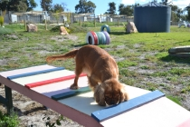 ADULT AGILITY PARK- Banksia Park Puppies - 9 of 117