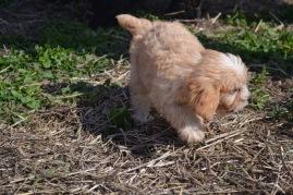 Banksia Park Puppies Animal Studies - 1 of 30 (21)