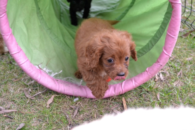 Cavoodles + Hilly's X2 and Hannah's X1 Foster Pups - 12 of 12