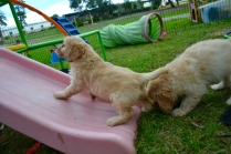 Cavoodles + Hilly's X2 and Hannah's X1 Foster Pups - 5 of 12