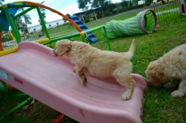 Cavoodles + Hilly's X2 and Hannah's X1 Foster Pups - 6 of 12
