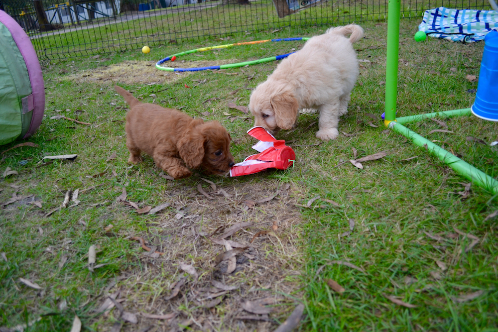 How To Raise A Puppy With Another Dog