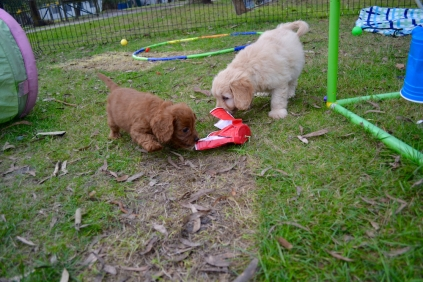 Cavoodles + Hilly's X2 and Hannah's X1 Foster Pups - 9 of 12
