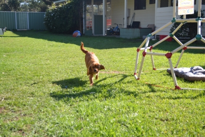 HARLOW- Banksia Park Puppies - 1 of 23