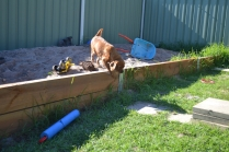HARLOW- Banksia Park Puppies - 15 of 23