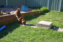 HARLOW- Banksia Park Puppies - 16 of 23