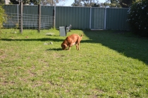 HARLOW- Banksia Park Puppies - 4 of 23