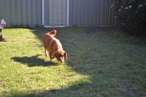 HARLOW- Banksia Park Puppies - 6 of 23