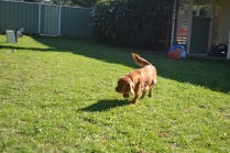 HARLOW- Banksia Park Puppies - 8 of 23
