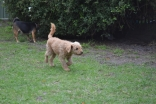 KINGSTON- Banksia Park Puppies - 3 of 16