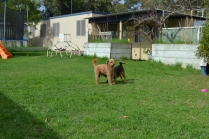 KINGSTON- Banksia Park Puppies - 6 of 16