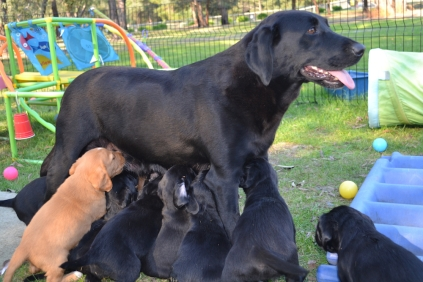 Larna feeding her 11 cavador puppies!
