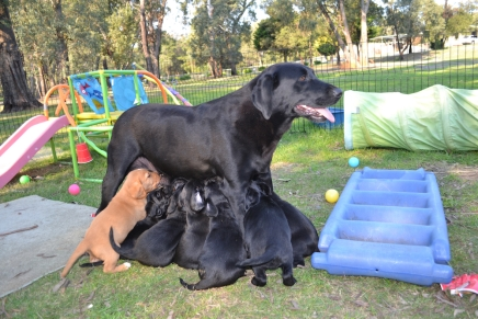 Larna feeding her 11 cavador puppies!
