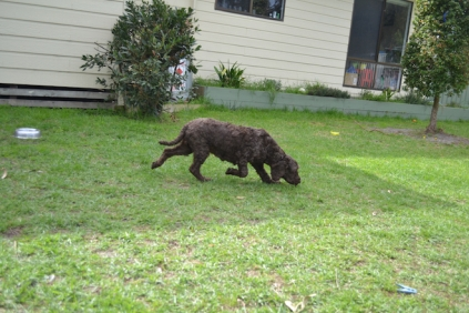 WHOOSHY- Banksia Park Puppies - 1 of 12