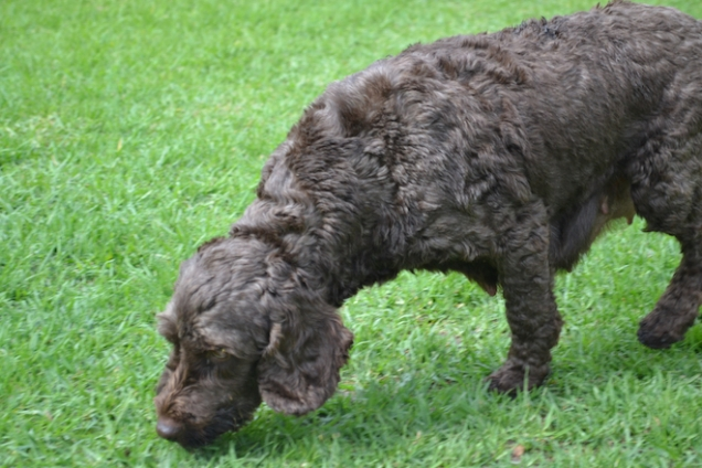 WHOOSHY- Banksia Park Puppies - 12 of 12