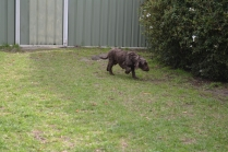 WHOOSHY- Banksia Park Puppies - 3 of 12