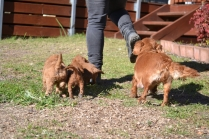 Rozelle and Pups- Banksia Park Puppies - 100 of 142