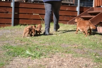 Rozelle and Pups- Banksia Park Puppies - 101 of 142