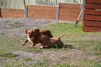 Rozelle and Pups- Banksia Park Puppies - 103 of 142