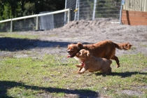 Rozelle and Pups- Banksia Park Puppies - 104 of 142