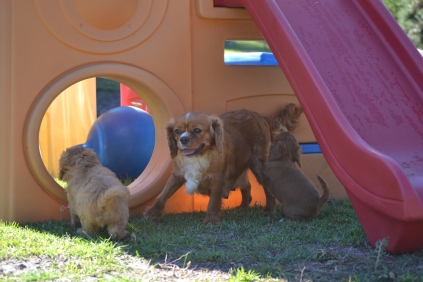 Rozelle and Pups- Banksia Park Puppies - 107 of 142