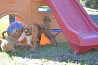 Rozelle and Pups- Banksia Park Puppies - 108 of 142