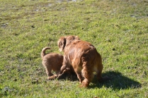 Rozelle and Pups- Banksia Park Puppies - 11 of 142