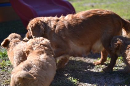 Rozelle and Pups- Banksia Park Puppies - 110 of 142