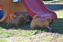 Rozelle and Pups- Banksia Park Puppies - 113 of 142