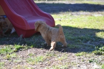 Rozelle and Pups- Banksia Park Puppies - 114 of 142
