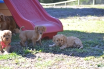 Rozelle and Pups- Banksia Park Puppies - 115 of 142