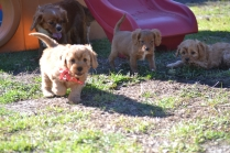 Rozelle and Pups- Banksia Park Puppies - 116 of 142