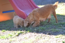 Rozelle and Pups- Banksia Park Puppies - 119 of 142