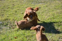 Rozelle and Pups- Banksia Park Puppies - 12 of 142