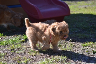 Rozelle and Pups- Banksia Park Puppies - 133 of 142