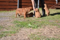 Rozelle and Pups- Banksia Park Puppies - 137 of 142